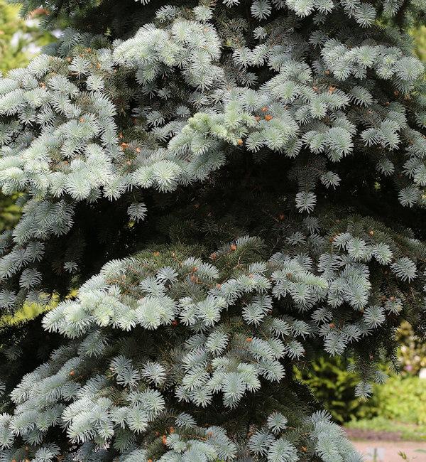 Serbische Zwergfichte Wodan 30-40cm - Picea omorika