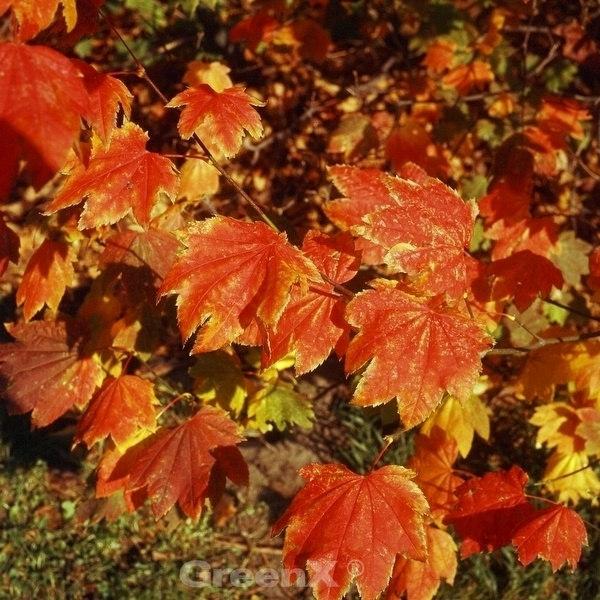 Weinblatt Ahorn Burgundy Jewel 80 100cm Acer Circinatum Kaufen