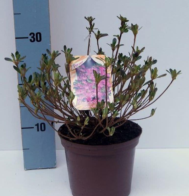 Rhododendron obtusum Japanische Azalee Diamant Enzianblau 15-20cm
