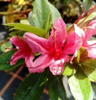 Japanische Azalee Silvester 15-20cm - Rhododendron obtusum - Zwerg Alpenrose