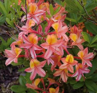 Azalee Josephine Klinger 70-80cm - Rhododendron luteum - Alpenrose