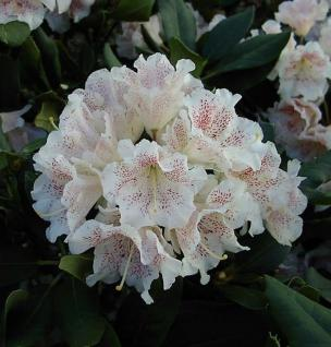 Großblumige Rhododendron Double Dots 30-40cm - Alpenrose