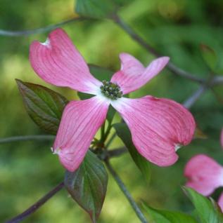Roter Blumenhartriegel 100-125cm - Cornus florida