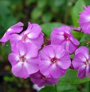 Hohe Flammenblume Lilac Flame® - Phlox paniculata