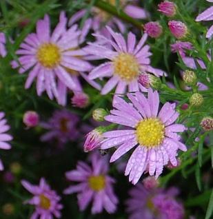 Myrtenaster Pink Star - Aster pringlei