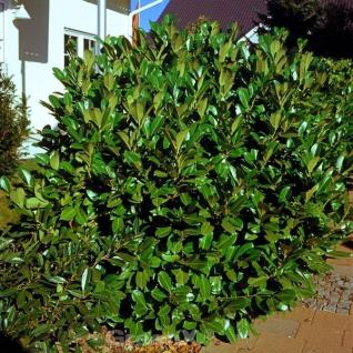 Kirschlorbeer Rotundifolia 60-80cm - Prunus laurocerasus