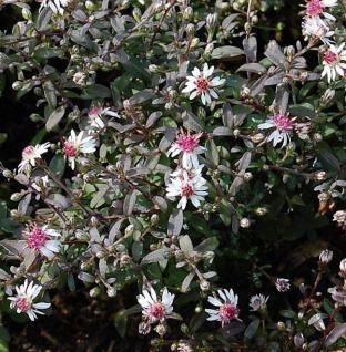 Waagerechte Herbst Aster Prince - Aster lateriflorus