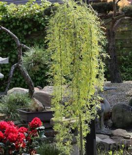 Hochstamm Erbsenstrauch Walker 80-100cm - Caragana arborescens