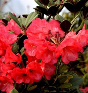 INKARHO - Rhododendron Burletta 50-60cm - Alpenrose