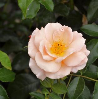 Hochstamm Rose Aprikola 80-100cm