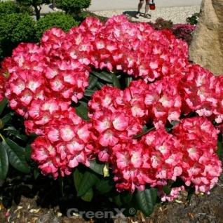 INKARHO - Rhododendron Kokette 15-20cm - Alpenrose