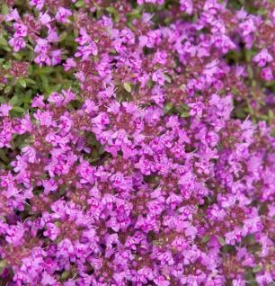 Polsterthymian Purple Beauty - Thymus praecox