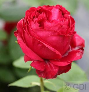 Romantikrose Red Eden Rose® 30-60cm