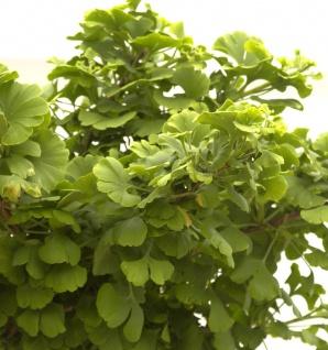 Kugel Fächerblattbaum 50-60cm - Ginkgo biloba