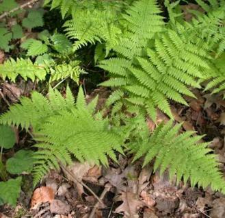 Frauenfarn Rotstiel - Athyrium filix femina
