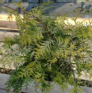 Zypresse Sunny Kiss 100-125cm - Chamaecyparis lawsoniana