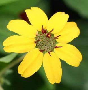 Duftende Schokoladenblume - Berlandiera lyriata