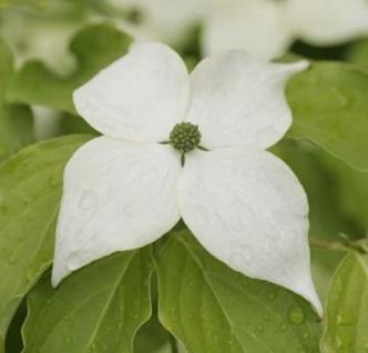 Japanischer Blumenhartriegel Teutonia 100-125cm - Cornus kousa