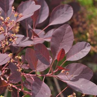 Hochstamm Perückenstrauch Dusky Maiden 80-100cm - Cotinus coggygria