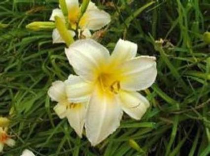 Taglilie Nob Hill - Hemerocallis