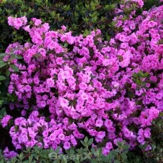 Japanische Azalee Thekla 20-25cm - Rhododendron obtusum - Zwerg Alpenrose