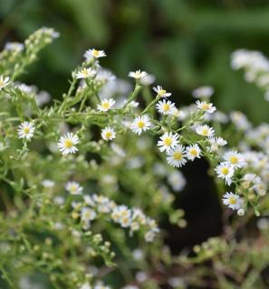 Myrtenaster Schneegitter - Aster ericoides