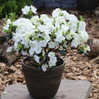 Japanische Azalee Inas Diamond® 30-40cm - Rhododendron obtusum - Zwerg Alpenrose