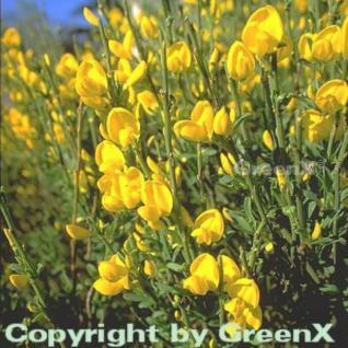 Duftender Kriechginster 20-25cm - Cytisus beanii