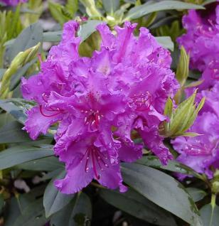 Großblumige Rhododendron Markgraf 40-50cm - Alpenrose