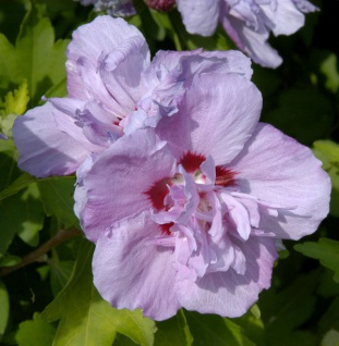 Hochstamm Rosen Eibisch Ardens 80-100cm - Hibiscus syriacus
