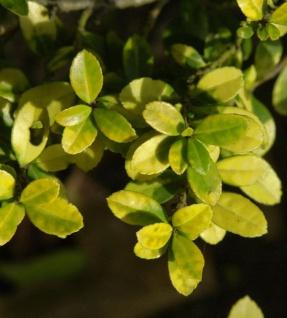 Hochstamm Gelber Bergilex Stechpalme 80-100cm - ilex crenata