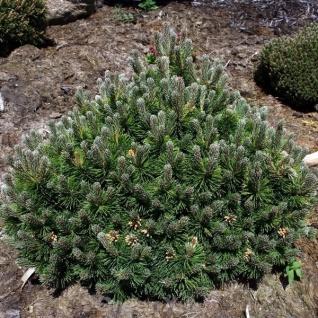 Flache Zwerg Kiefer March 20-25cm - Pinus mugo