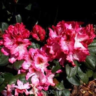INKARHO - Großblumige Rhododendron Marianka 25-30cm - Alpenrose