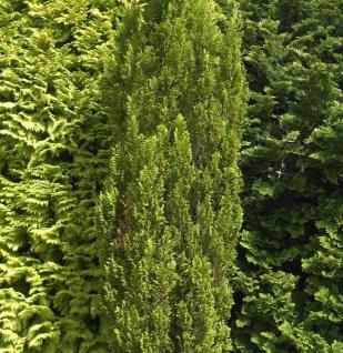 Kegelzypresse Ellwoodii Gold 15-20cm - Chamaecyparis lawsoniana