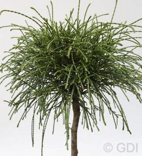 Hochstamm Faden Lebensbaum Whipcord 80-100cm - Thuja plicata