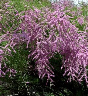 Heide-Tamariske Pink Cascade 80-100cm - Tamarix ramosissima