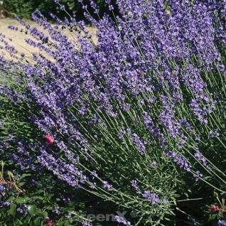 Echter Lavendel Peter Pan - Lavandula angustifolia