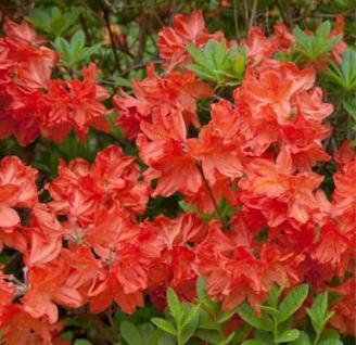 Azalee Balzac 30-40cm - Rhododendron luteum - Alpenrose