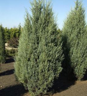 Säulen Wacholder Moonglow 60-80cm - Juniperus scopulorum