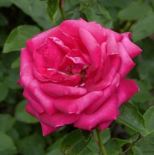 Floribundarose Dame de Couer 30-60cm