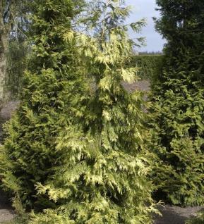 Lebensbaum Zebrina Extra Gold 125-150cm - Thuja plicata