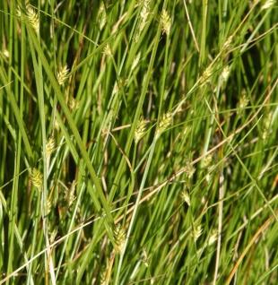 Winkel Segge - Carex remota