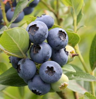 Heidelbeere Hardy Blue 60-80cm - Vaccinium corymbosum