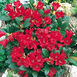 Zwerg Rhododendron Baden Baden 15-20cm - Rhododendron repens - Zwerg Alpenrose