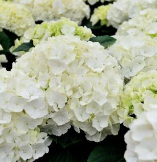 Bauernhortensie Caline® 60-80cm - Hydrangea macrophylla