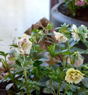 Christrose Double White - Helleborus orientalis