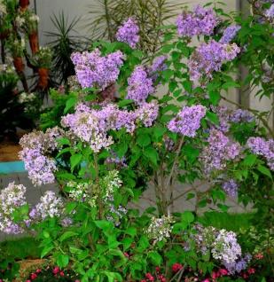 Edelflieder Lavender Lady - Kircher-Collection 100-125cm - Syringa hyacinthiflora