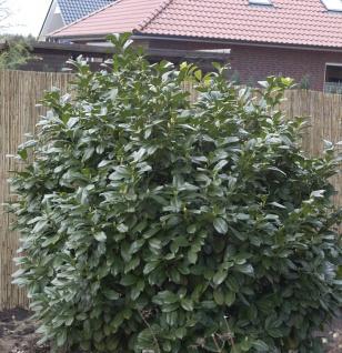 Kirschlorbeer Compact 60-80cm - Prunus laurocerasus