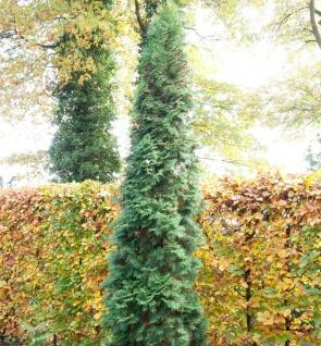 Säulen Lebensbaum 30-40cm - Thuja occidentalis