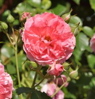 Hochstamm Rose Rosarium Uetersen® 80-100cm
